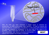 Still image linking to Animation of the PCR Process